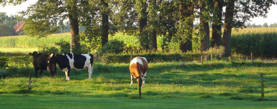 koeien-zomer